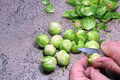 Preparing brussel sprouts to cook a hand with a knife taking off the old leaves of the Royalty Free Stock Photography