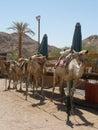 Preparing for camel safari Stock Image