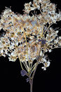 Pressed dried flowers Royalty Free Stock Photo