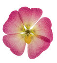 Pressed and dried pink flower mallow malva, isolated Royalty Free Stock Photo