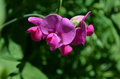 Pretty Blooming Hot Pink Sweet Pea Flowers Royalty Free Stock Photo