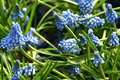 Pretty blue muscari or grape hyacinth an early flowering spring flower with spikes of like flowers Stock Photo