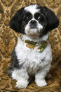Pretty Boy Shihtzu Dog Royalty Free Stock Photo