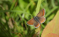 A pretty Brown Argus Butterfly Aricia agestis perched on a plant. Royalty Free Stock Photo