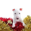 Pretty bull terrier pet on a christmas ornaments isolated white background Royalty Free Stock Photo
