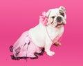 Pretty Bulldog Wearing Pink Tutu Royalty Free Stock Photo