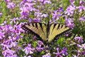Pretty butterfly and purple pholx swallowtail feeding on spring phlox Royalty Free Stock Photo