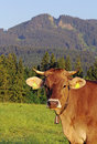 A pretty cow Royalty Free Stock Images