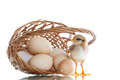 Pretty cute chick with eggs Royalty Free Stock Photo