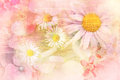 Pretty daisies artistic background beautiful in pink and cream Royalty Free Stock Photo