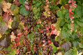 Pretty delicate autumn colours in ivy close up nature background of the foliage and tingeing the leaves on an creeper Royalty Free Stock Photo