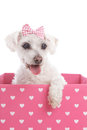 Pretty dog in a pink heart box maltese terrier with hair bow sitting inside white background Stock Images