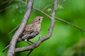 Pretty Female House Finch Perched in a Tree Royalty Free Stock Photos
