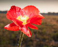 Pretty flower red on a poppy plant with a dark field as a background Stock Photography