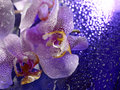 Pretty flowers subtle violet white and pink o a reflective surface covered with water drops Stock Photo