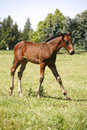 Pretty foal galloping in a summer paddock. Royalty Free Stock Photo