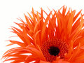 Pretty gerbera Royalty Free Stock Photo