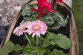 Pretty gerbera flowers Royalty Free Stock Photo
