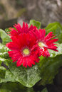 Pretty gerbera flowers Royalty Free Stock Photo