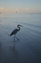Pretty Great Blue Heron at Dawn Walking into the Water Royalty Free Stock Photo