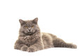 Pretty grey british longhair cat lying on the floor facing the camera isolated a white background Royalty Free Stock Photos