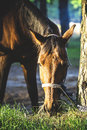 Pretty horse eating gras outdoor scene Royalty Free Stock Image