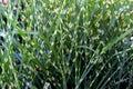 Horizontal image of ornamental zebra grass in landscaped garden Royalty Free Stock Photo