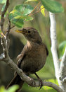 A pretty juvenile female blackbird Royalty Free Stock Images