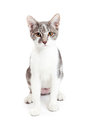 Pretty Kitten Sitting Straight Forward Royalty Free Stock Photo