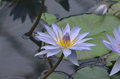 Pretty Lavender Colored Water Lily in a Water Garden Royalty Free Stock Photo