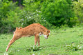 Pretty little calf standing. Royalty Free Stock Photo