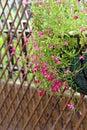 Pretty lobelia flowers Royalty Free Stock Photo