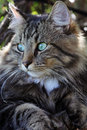 A pretty Norwegian forest cat Royalty Free Stock Photo