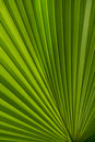 Pretty Palmate Frond Royalty Free Stock Photo