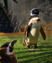 Pretty penguin penguins at sea world san diego ca Royalty Free Stock Images