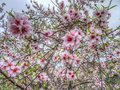 Pretty pink almond blossom flowers on a tree Royalty Free Stock Photo