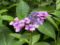 Hydrangea bush with pink and blue flowers Royalty Free Stock Photo