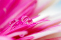 Pretty pink daisy colors in water drops Royalty Free Stock Photo