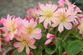 Pretty pink flowers (Lewisia Twedei Rosa) Royalty Free Stock Photo