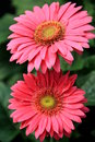 Pretty pink Gerbera Daisies Royalty Free Stock Photo