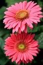 Pretty pink Gerbera Daisies Royalty Free Stock Photo
