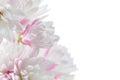 Pretty Pinkish White Deutzia Scabra Flowers on White Background Royalty Free Stock Photo