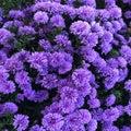 Pretty purple Royalty Free Stock Photo