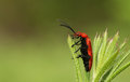A pretty Red-headed Cardinal Beetle Pyrochroa serraticornis perched on a plant. Royalty Free Stock Photo
