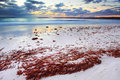 Pretty red seaweed washed ashore the beach at dawn magnificent glistens under skies just before sunrise hyams nsw australia Stock Image