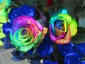 Pretty multicolor rose Royalty Free Stock Photo