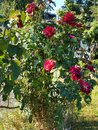 Rosebush in my yard Royalty Free Stock Photo