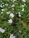 Pretty small white flowers Royalty Free Stock Photo