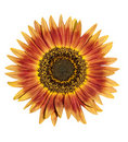 Pretty sunflower isolated over white Royalty Free Stock Photos