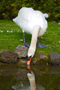 Pretty swan drinking water Stock Images